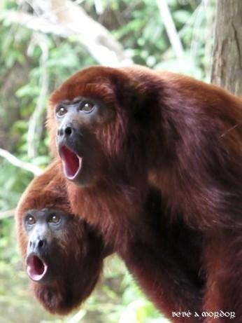 Dos monos aulladores haciendo lo propio.